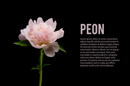 pink peony isolated on black background
