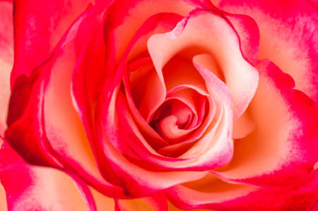 background of roses scarlet roses