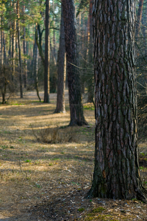 pine forest in the early spring