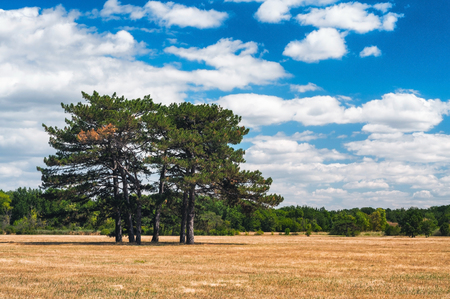 large meadow with pine trees in Askania-Nova Stock Photo