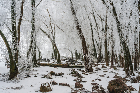 winter forest in icy crust