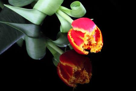 beautiful red tulips close up: elegant tulips on black background