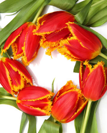 beautiful tulips on a white background photo
