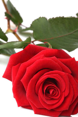 elegant red rose on white background photo
