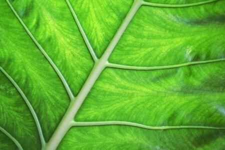 horozontal: green tropical leaf close up (horozontal) Stock Photo