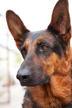 guard dog: Guard dog close up shoot Stock Photo