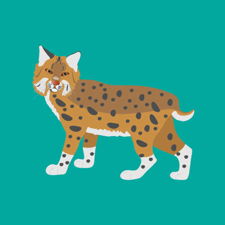 Bobcat standing on a green background. Animals of north america.
