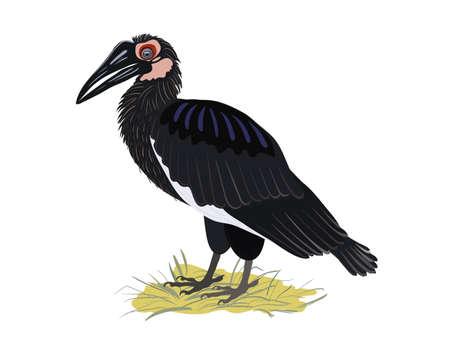 Kaffir raven standing on a grass. Rare birds of Africa