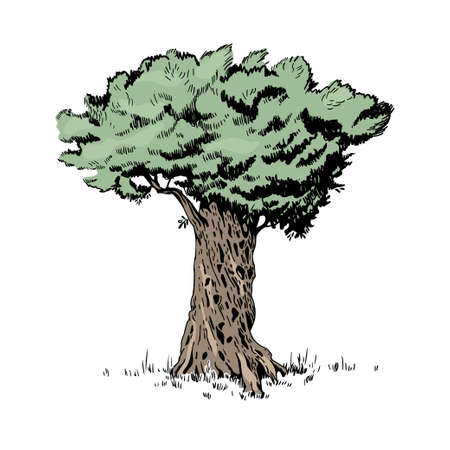 Hand drawn vector olive tree on a white background. Natural sketch.