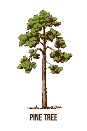 Hand drawn  pine tree on a white background. Natural sketch. Banco de Imagens - 155186995