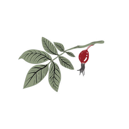 Rosehip branch with berries isolated on a white background