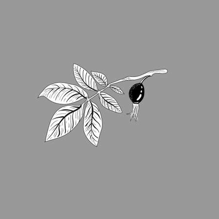 Rosehip branch with berries isolated on a white background. Monochrome sketch