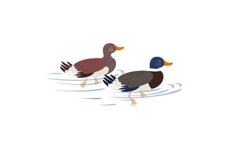 Two ducks are swimming on the lake. Ducks in hand drawn style isolated on white background.