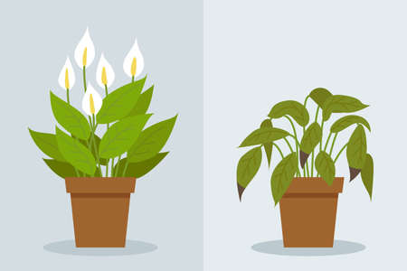 Plant withering. Two vector scenes with a healthy and a wilting plant. Flower care, house plant care mistakes. Spathiphyllum.