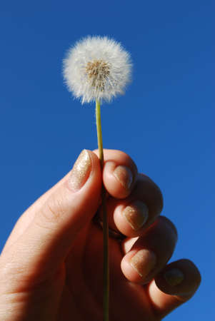 Dandelion in the hand on blue sky Stock Photo