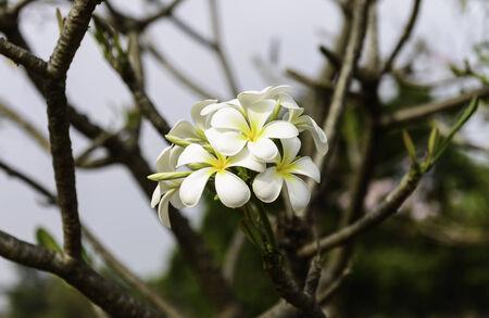 leelawadee: Beautiful White Plumeria  Frangipani  or Leelawadee flower in Thailand