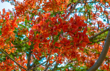 pulcherrima: Red peacock flower or Caesalpinia pulcherrima