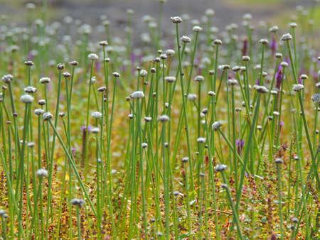 plants species: Eriocaulon aquaticum � una specie di fiore trovato nel Kaas Plateau si trova nel Maharashtra, in India. Con pi� di 850 specie di piante da fiore, Kaas � stato dichiarato come la biodiversit� Patrimonio dell'Umanit� dall'UNESCO.