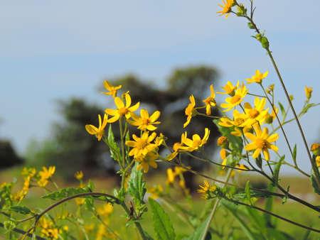 plants species: Senecio grahami noto anche come Bombayensis è una specie di fiore trovato nel Kaas Plateau si trova nel Maharashtra, in India. Con più di 850 specie di piante da fiore, Kaas è stato dichiarato come la biodiversità Patrimonio dell'Umanità dall'UNESCO.