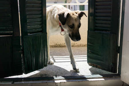 kangal: Dog enters room from balcony