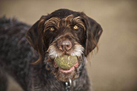 German Wirehair Pointer with ball photo