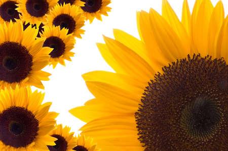 stamen wasp: Sunflowers Background Texture