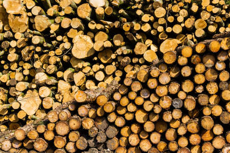 On a spring morning near Hardy's Monument, Dorset, England, United Kingdon. These logs caught the morning light photo