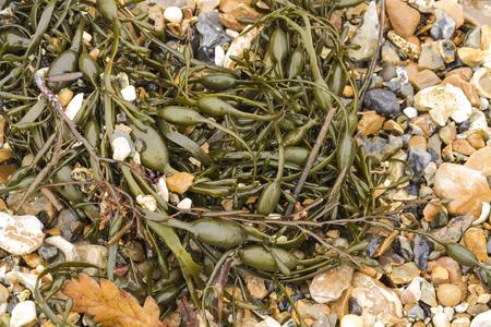 air bladder: Egg Wrack (Ascophyllum nodosum) � un alga trova sul centro della costa del Regno Unito. Archivio Fotografico