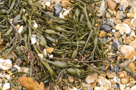 Egg Wrack (Ascophyllum nodosum) is a seaweed found on middle of the shore in the United Kingdom.