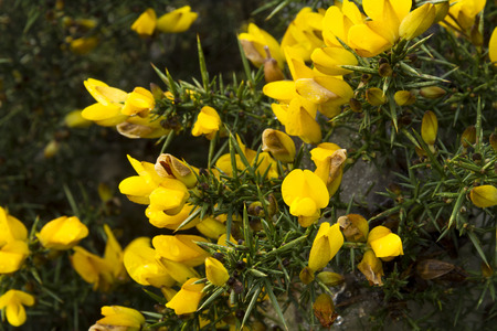 Close up of UK gorse bush.
