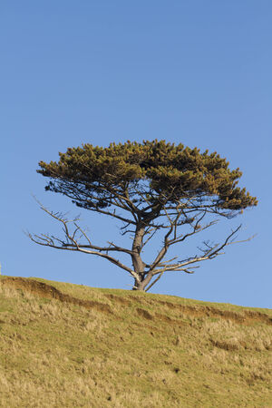 scots: Scots pine against blue sky, United Kingdom