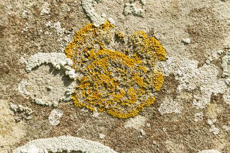 liquen: Xanthoria parietina, escala amarillo, naranja com�n, resplandor solar mar�tima o liquen orilla En l�pida, Reino Unido Un follose o liquen frondoso