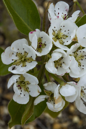 pyrus: Pyrus communis, conference pear flowers with minibeast exploring  Macro close up