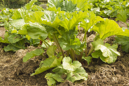 rheum: Growing Rheum rhabarbarum in kitchen garden