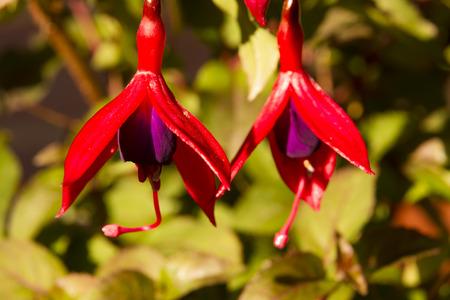 fuschias: Close up of two Fuschias