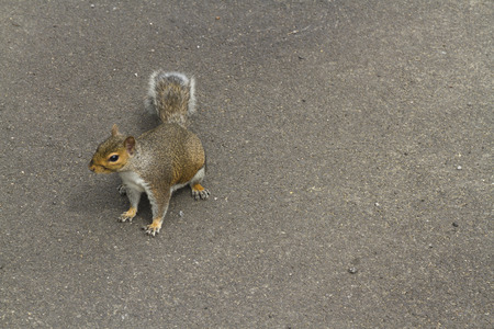carolinensis: Grey squirrel, Sciurus carolinensis, on gound, space in image on right side.