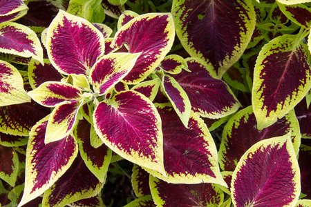 ornamental bush: Looking down on purple and green variegated leaves Stock Photo