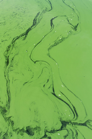 photosynthetic: Cyanophyta or blue green algae, layer on surface of still water. Background or pattern.