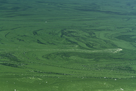 photosynthetic: Cyanophyta or blue green algae, layer on surface of still water. Stock Photo