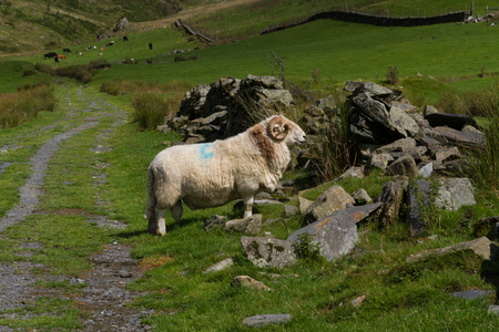 rock wool: Sheep in green field and old stone wall. Stock Photo