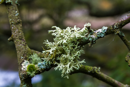 Lichen evernia prunastri, oakmoss, growing on branch, United Kingdom. Used if French perfume industry.
