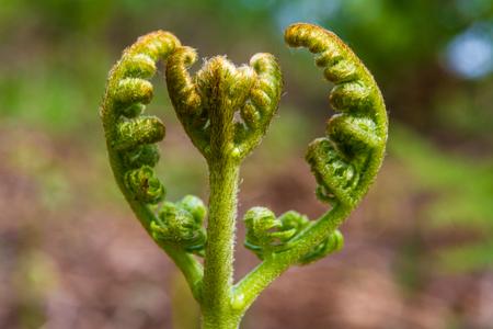 buckler: Immature Broad buckler fern, Dryopteris dilatata, newly emerged on forest floor. Stock Photo