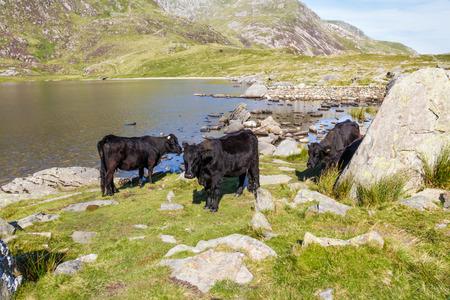 snowdonia: Black cows by Lake Idwal, Snowdonia, Wales, United Kingdom.