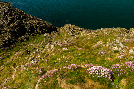 Sea pink or Armeria maritima in foreground of rocky coast.