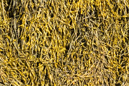air bladder: Egg Wrack (Ascophyllum nodosum) is a seaweed found on middle of the shore in the United Kingdom.
