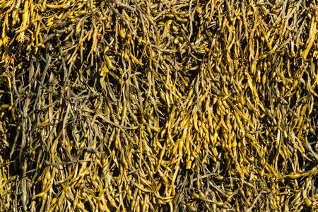 wrack: Egg Wrack (Ascophyllum nodosum) is a seaweed found on middle of the shore in the United Kingdom.
