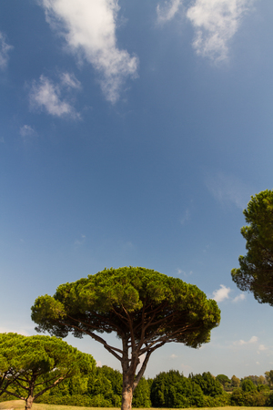 Stone pine or Pinus pinea also called Italian Stone Pine, umbrella pine and parasol pine. Ostia Antica, roman city, Rome in Italy.