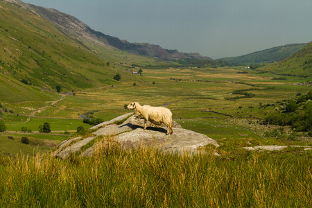 nant: View of Nant Ffrancon Pass, a sheep in foreground. Idwal Cottage, Snowdonia National Park, Gwynedd, Wales, United Kingdom. Stock Photo