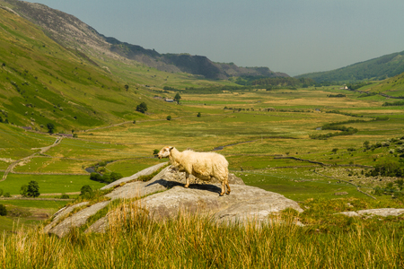 bethesda: View of Nant Ffrancon Pass, a sheep in foreground. Idwal Cottage, Snowdonia National Park, Gwynedd, Wales, United Kingdom. Stock Photo