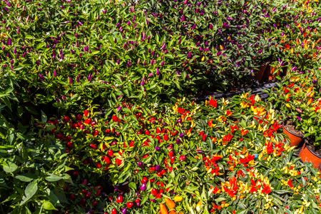 Bushes with red chillies growing on them.